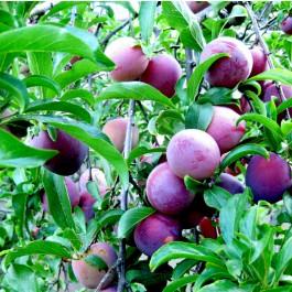PRUNIER - Prunus domestica 'Damas de septembre'