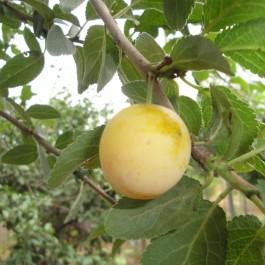 PRUNIER - Prunus domestica 'Mirabelle de Metz'