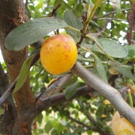 PRUNIER - Prunus domestica 'Mirabelle de Nancy'