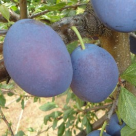 PRUNIER - Prunus domestica 'Stanley'