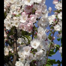 Cerisier à fleurs 'Amanogawa'