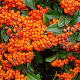 Pyracantha orange