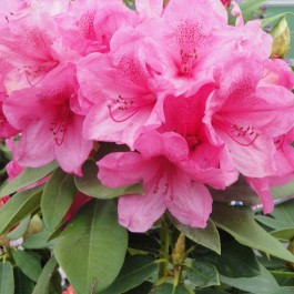 Rhododendron à fleurs roses