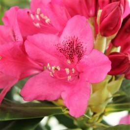 rhododendron à petite végétation