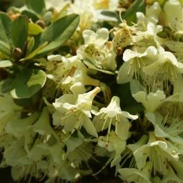 rhododendron nain jaune
