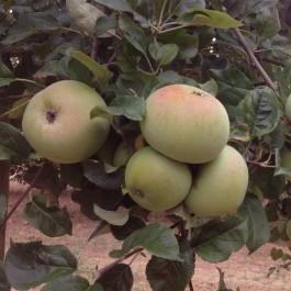 POMMIER - Malus communis 'Sans pareil peasgood'