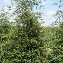 Sequoia vert
