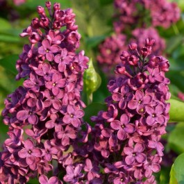 Lilas pourpre simple 'Louis Spaeth'