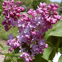 Lilas double rose satiné 'Belle de Nancy'