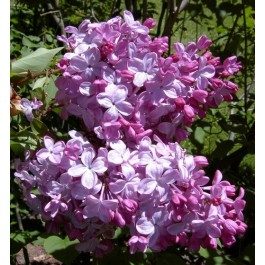 Lilas rose 'Ester Statley'