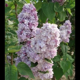 Lilas pourpre double 'Katherine Havemeyer'