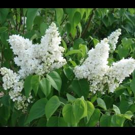 Lilas blanc 'Madame Lemoine'