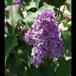 Lilas rouge pourpre 'Prince Wolkonsky'