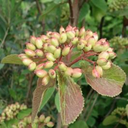 Viorne mansienne