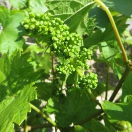 Vigne noire