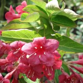 Weigélia rouge 'Bristol Ruby'