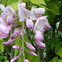 Glycine Rose