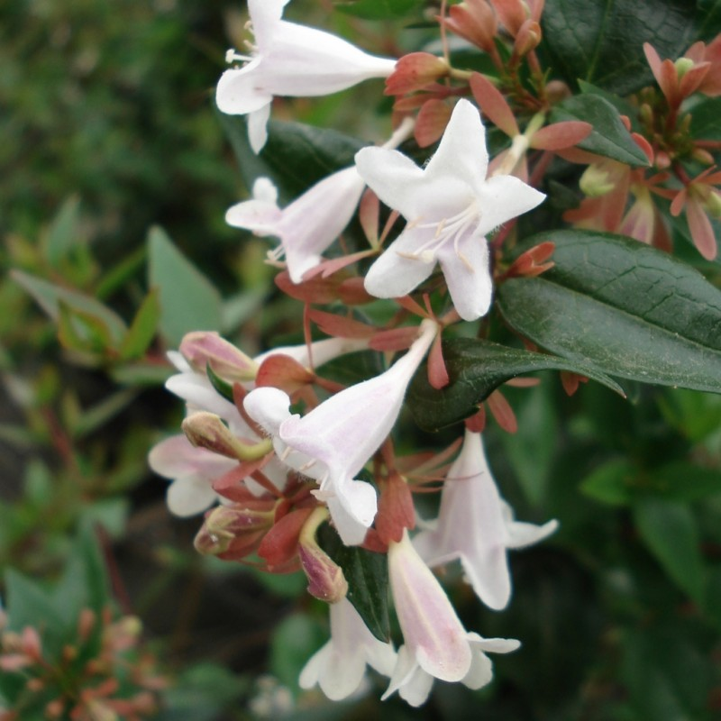 Vente en ligne de Abelia grandiflora 0