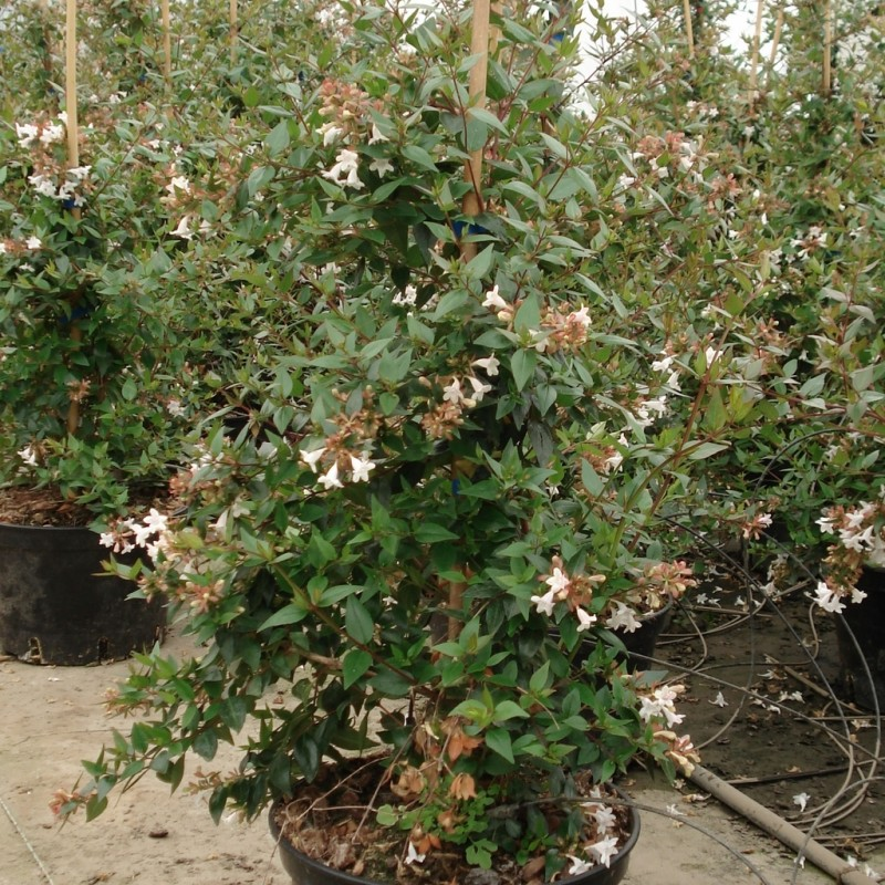 Vente en ligne de Abelia grandiflora 2