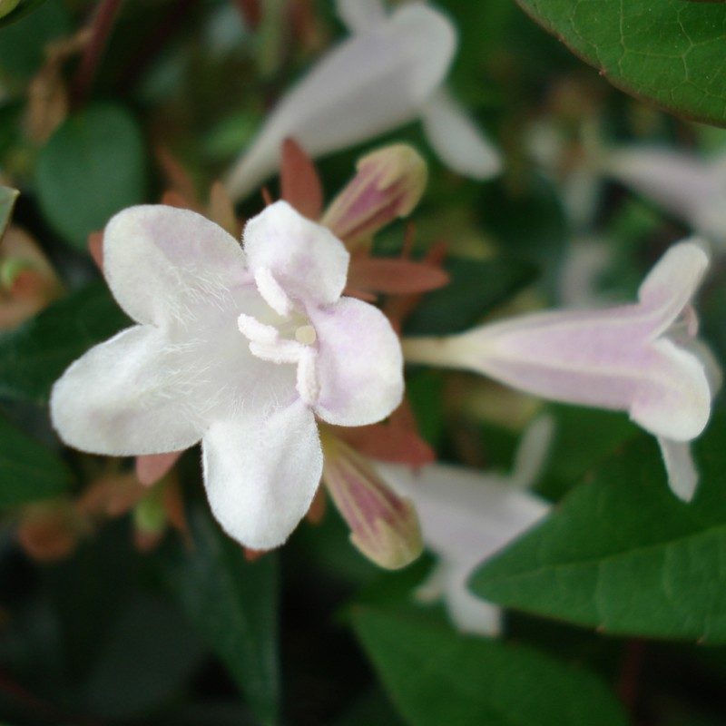 Vente en ligne de Abelia grandiflora 3
