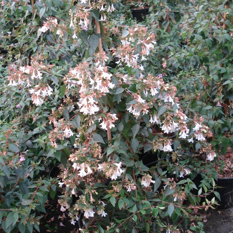 Vente en ligne de Abelia grandiflora 4