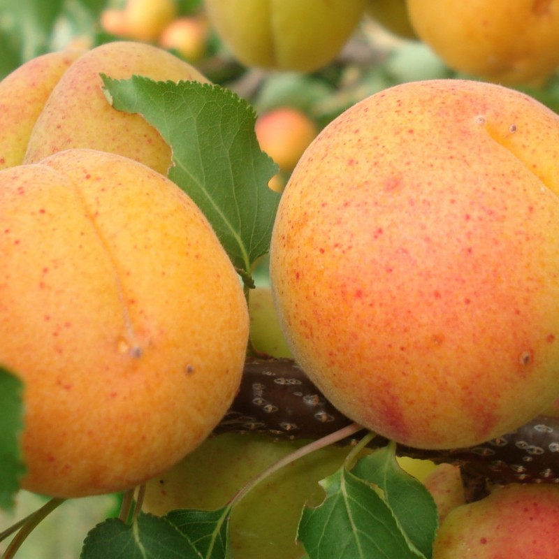Vente en ligne de ABRICOTIER - Prunus armeniaca 'Polonais' 1