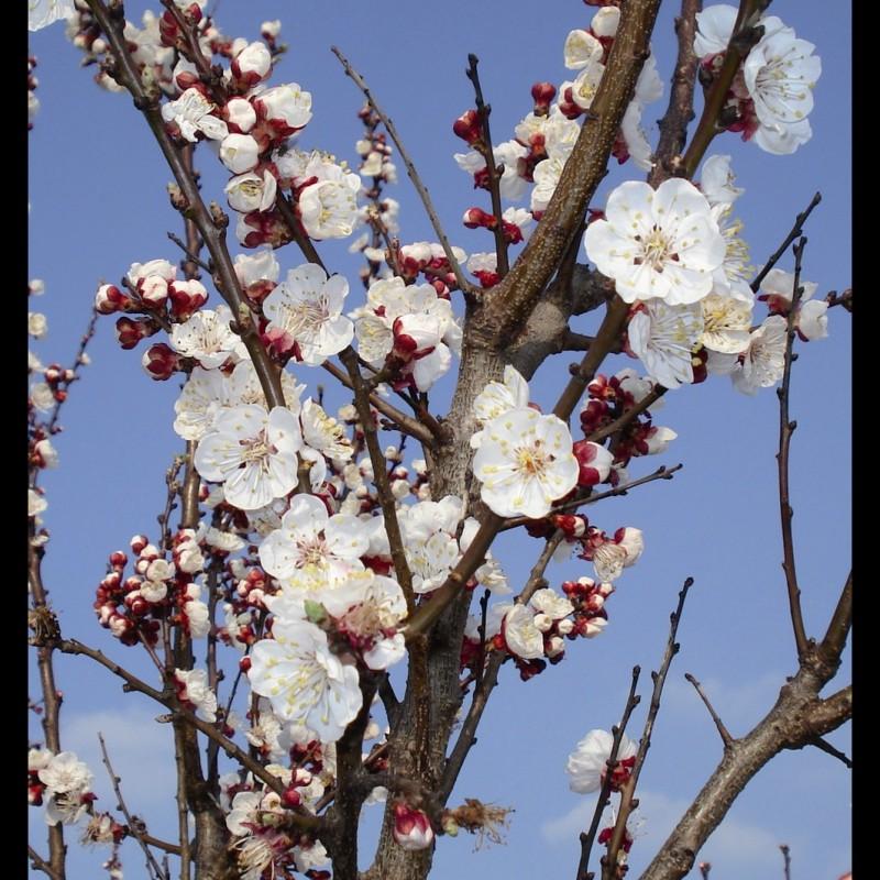 Vente en ligne de ABRICOTIER - Prunus armeniaca 'Pêche de nancy' 1