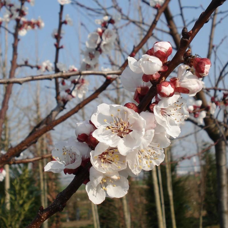 Vente en ligne de BRUGNON - Prunus persica var.nucipersica 'Silver lode' 1