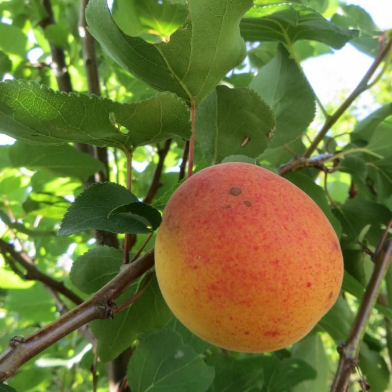 Vente en ligne de ABRICOTIER - Prunus armeniaca 'Bergeron' 1