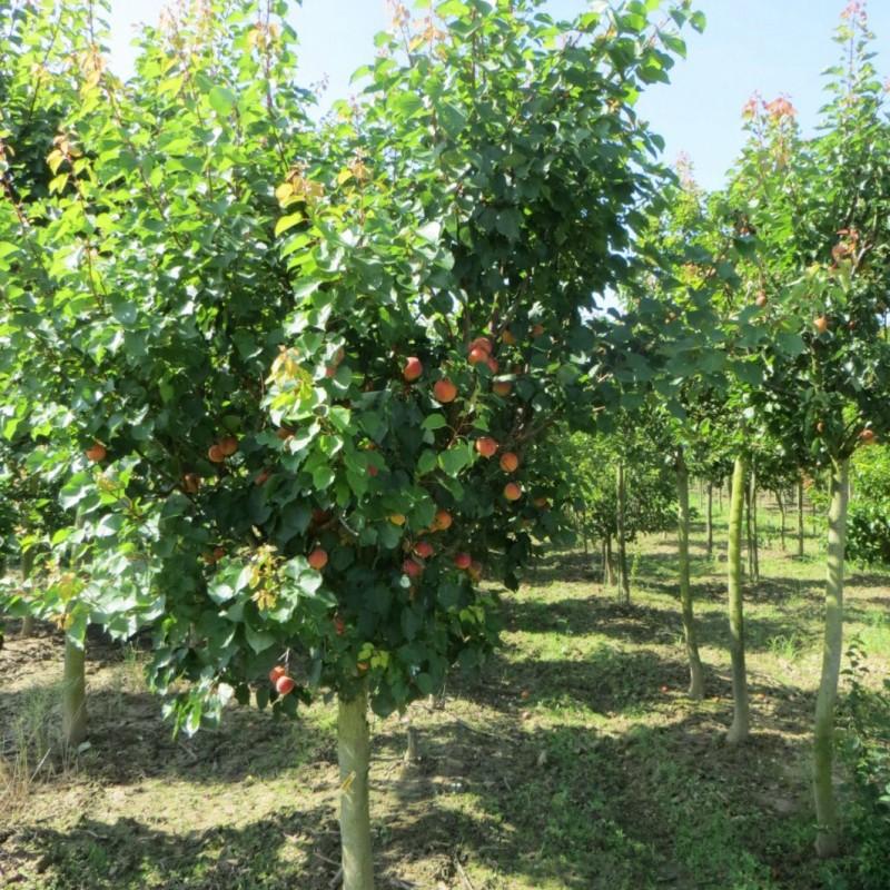 Vente en ligne de ABRICOTIER - Prunus armeniaca 'Bergeron' 2