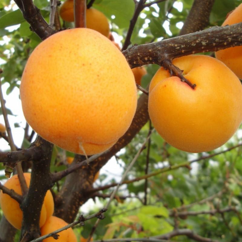 Vente en ligne de ABRICOTIER - Prunus armeniaca 'Colomer' 0