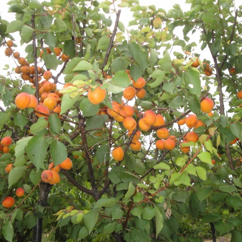 Vente en ligne de ABRICOTIER - Prunus armeniaca 'Goldrich' 2