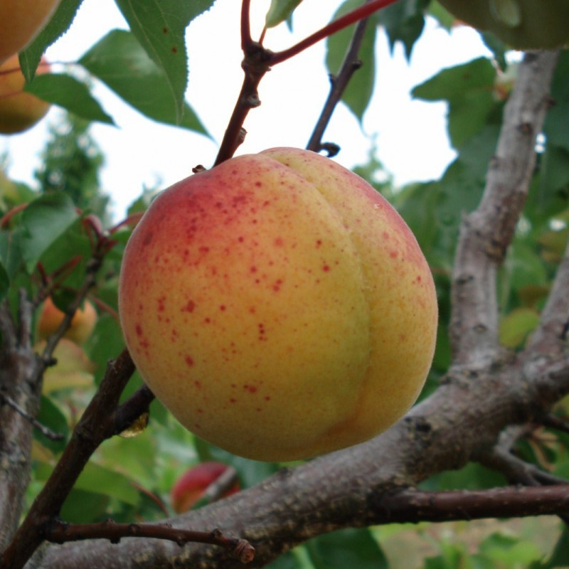 Vente en ligne de ABRICOTIER - Prunus armeniaca 'Luizet' 0