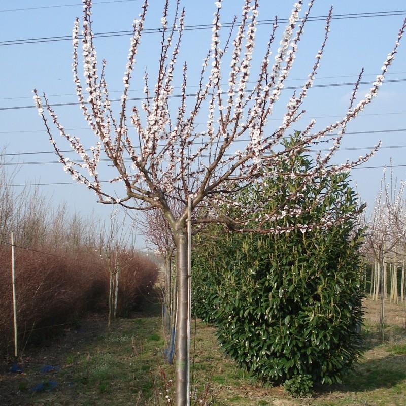 Vente en ligne de ABRICOTIER - Prunus armeniaca 'Luizet' 2