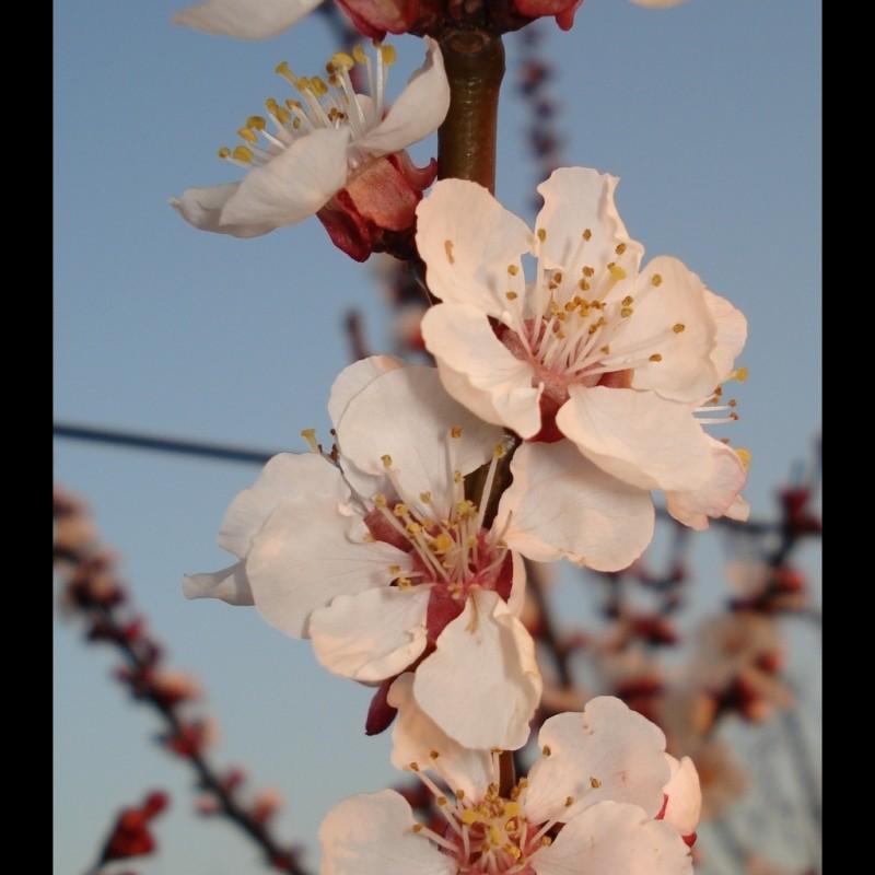 Vente en ligne de ABRICOTIER - Prunus armeniaca 'Luizet' 3