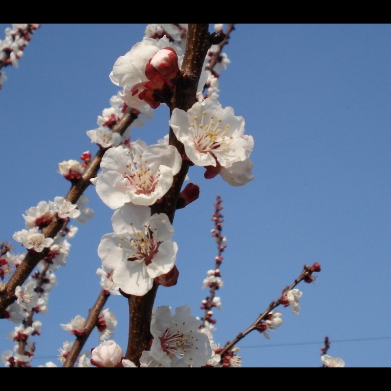 Vente en ligne de ABRICOTIER - Prunus armeniaca 'Luizet' 4