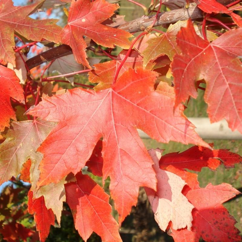 Vente en ligne de Erable 'Autumn Blaze' 0