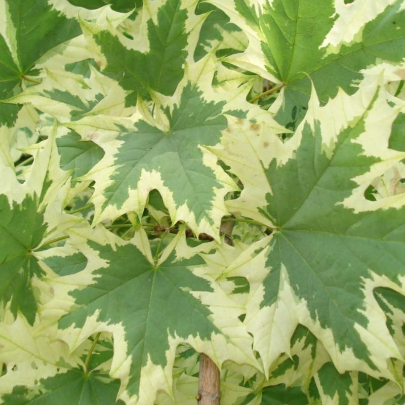 Vente en ligne de Erable plane à feuilles panachées 1
