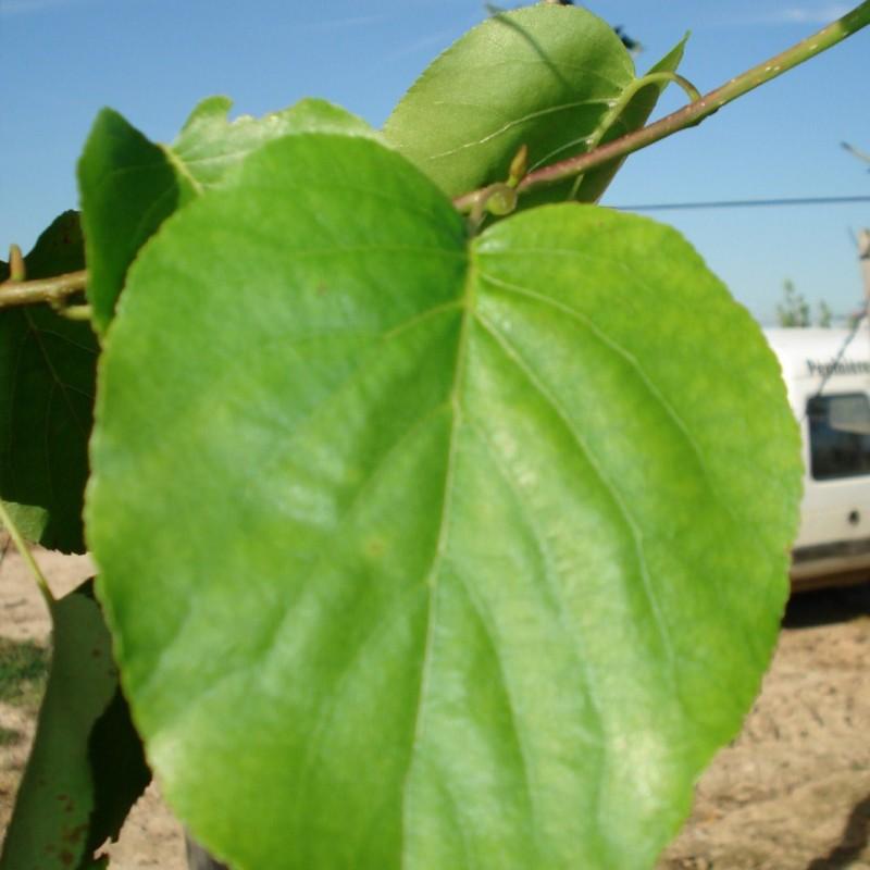 Vente en ligne de Aulne à feuilles en coeur 1