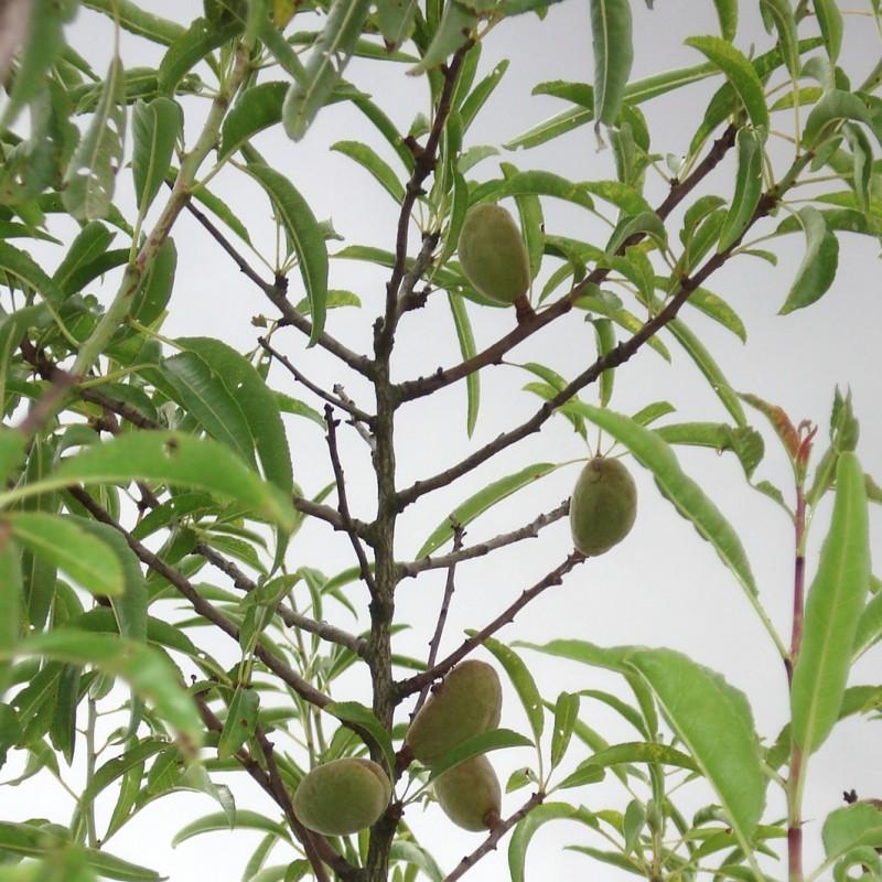 Vente en ligne de AMANDIER - Prunus amygdalus 'Princess m133' 0