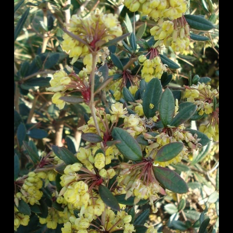 Vente en ligne de Berberis x stenophylla 1