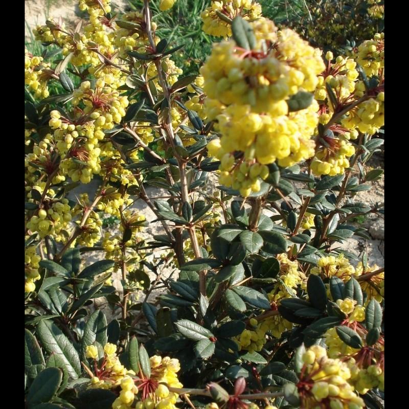 Vente en ligne de Berberis x stenophylla 2