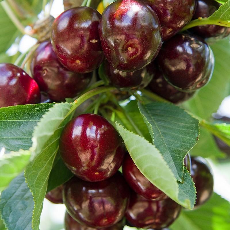 Vente en ligne de CERISIER - Prunus avium - bigarreau 'Reverchon' 0