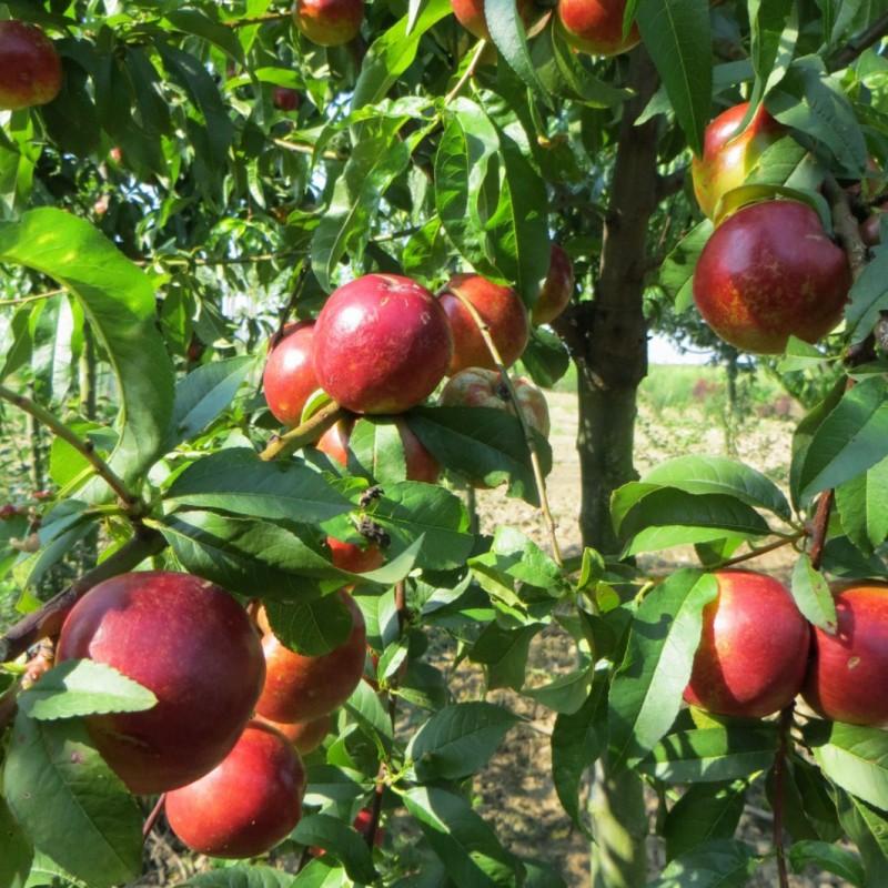 Vente en ligne de BRUGNON - Prunus persica var. nucipersica 'Nectared 4' 1