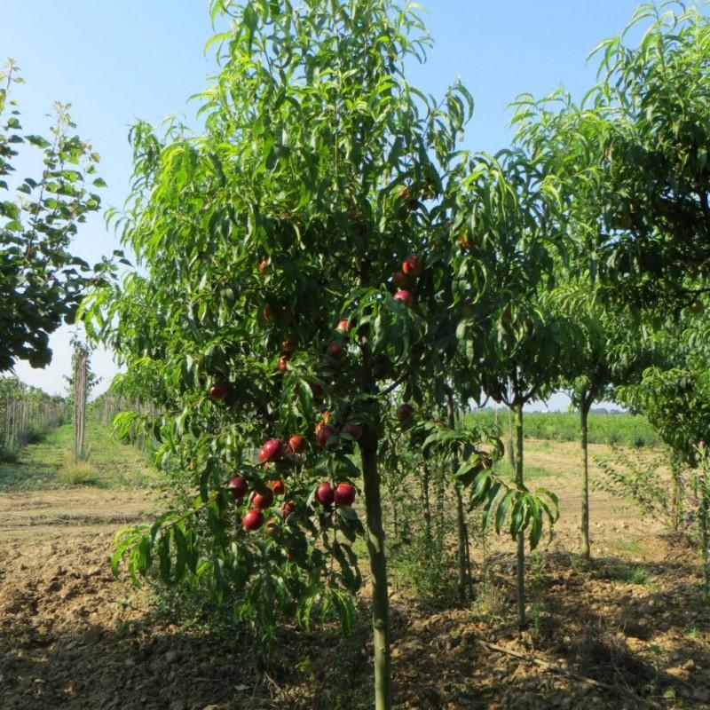 Vente en ligne de BRUGNON - Prunus persica var. nucipersica 'Nectared 4' 2