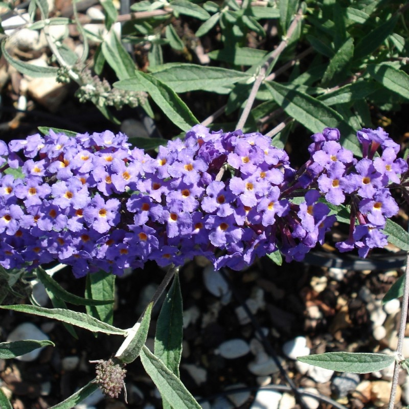 Vente en ligne de Arbre aux papillons nain 'Nanho blue' 0
