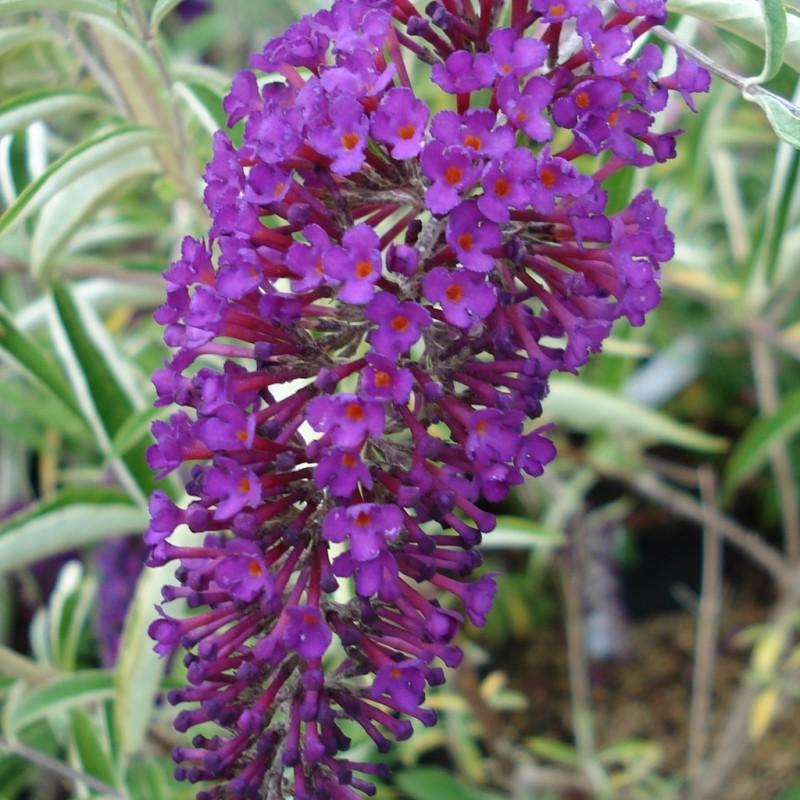 Vente en ligne de Arbre aux papillons nain 'Nanho purple' 0