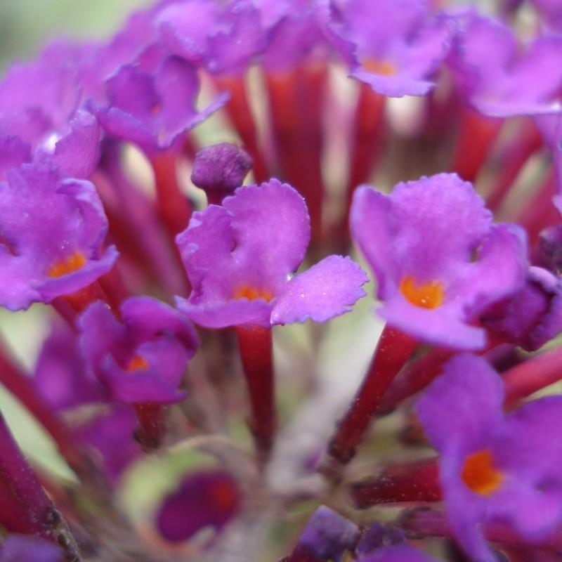 Vente en ligne de Arbre aux papillons nain 'Nanho purple' 2