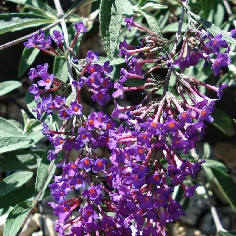 Vente en ligne de Arbre aux papillons nain 'Nanho purple' 3