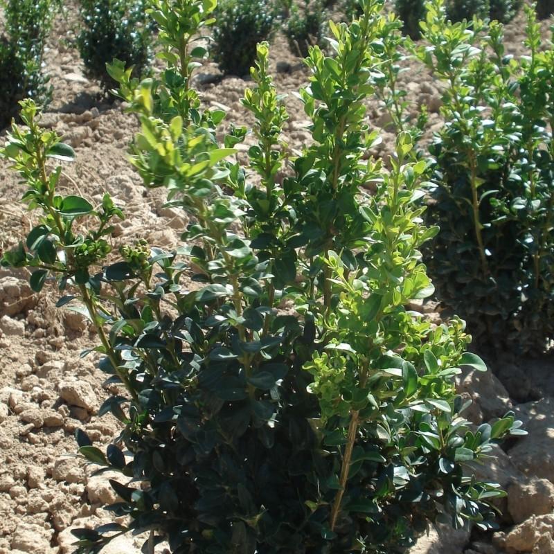Vente en ligne de Buis 'Arborescens'   1